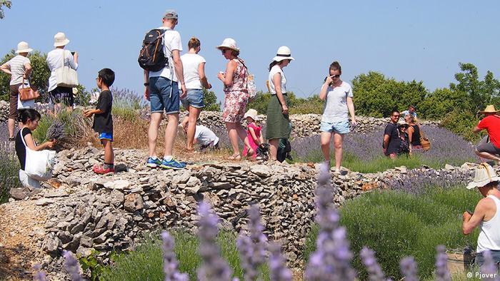Kroatien Insel Hvar Lavendelernte