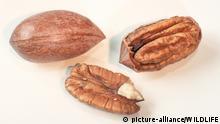 DEU, 2003: Pekannuss, Hickorynuss (Carya illinoinensis, Carya illinoensis), eine ganze Nuss, eine halbe Nuss mit Kern und ein zerteilter Nusskern als Freisteller. [en] [Hickory Nut, Pecan Nut (Carya illinoinensis, Carya illinoensis), whole nut, one half with kernel and pieces of kernel, studio picture.]   DEU, 2003: Hickory Nut, Pecan Nut (Carya illinoinensis, Carya illinoensis), whole nut, one half with kernel and pieces of kernel, studio picture.  