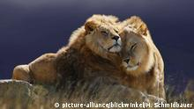 DW eco@africa - Lions (picture-alliance/blickwinkel/H. Schmidbauer)