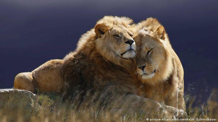 DW eco @ africa - lions suspendus (picture-alliance / blickwinkel / H. Schmidbauer)