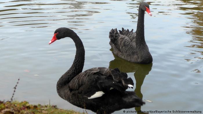 В Баварии ищут пару для черного лебедя