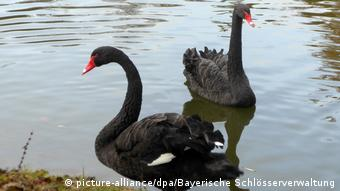 Two black swans close together near the shore in Rosenau