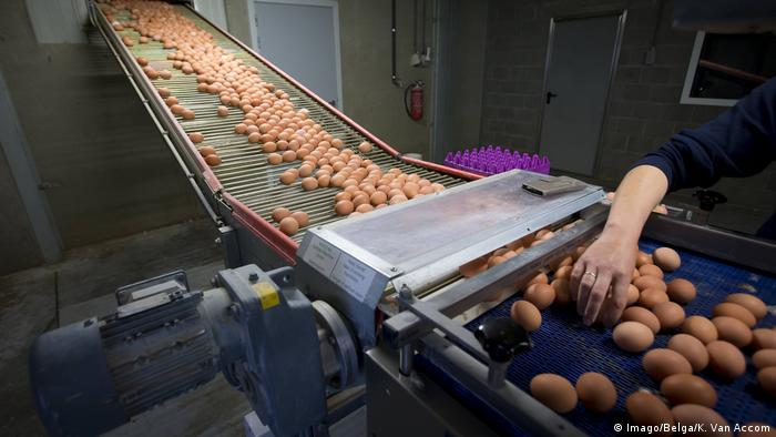 Eggs Rolling of to Assembly Line at a Chicken Farm in MERKSPLAS