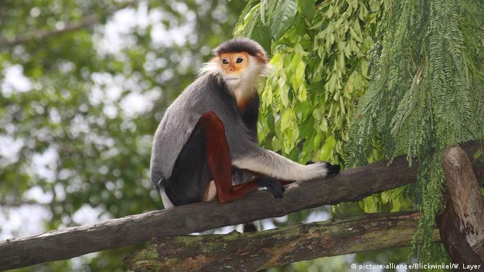 Duoc monkey in a tree in Vietnam (picture-alliance/Blickwinkel/W. Layer)