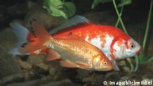 Goldfische - carassius auratus gibelio - Giebel