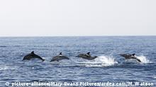 Delphin im Mittlemeer