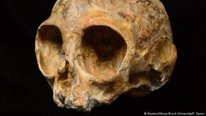 USA Schädel der neu entdeckten ausgestorbenen Affen-Spezies namens Nyanzapithecus alesi gefunden (Reuters/Stony Brook University/F. Spoor)