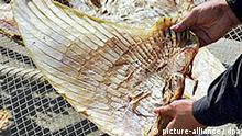 getrocknete Haifischflosse