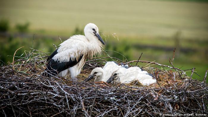 Nasser Sommer Baby Störche Erfrieren Im Nest Wissen Umwelt Dw