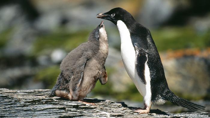 Adeliepinguin (Pygoscelis adeliae) (picture alliance/WILDLIFE/D. Tipling)