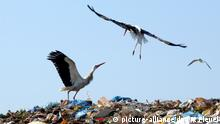 Störche auf Mülldeponie