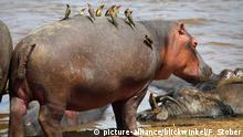Nilpferd, Flusspferd, Grossflusspferd (Hippopotamus amphibius), mit Madenhackern, Kenia, Masai Mara Nationalpark | hippopotamus, hippo, Common hippopotamus (Hippopotamus amphibius), with oxpeckers, Kenya, Masai Mara National Park | Verwendung weltweit