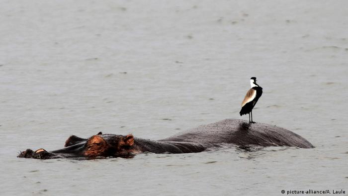 Nilpferd im Wasser (picture-alliance/A. Laule)