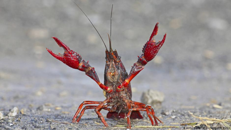 Crayfish as food
