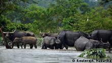 Indien Assam Überflutungen Büffel