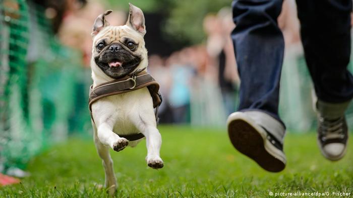 A pug runs in the 8th annual International Pug Meeting in Berlin
