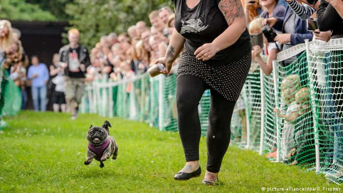 A pug races alongside its owner at the 8th International Pug Meeting in Berlin
