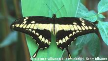 Schwalbenschwanz, Papilio machaon, swallowtail
