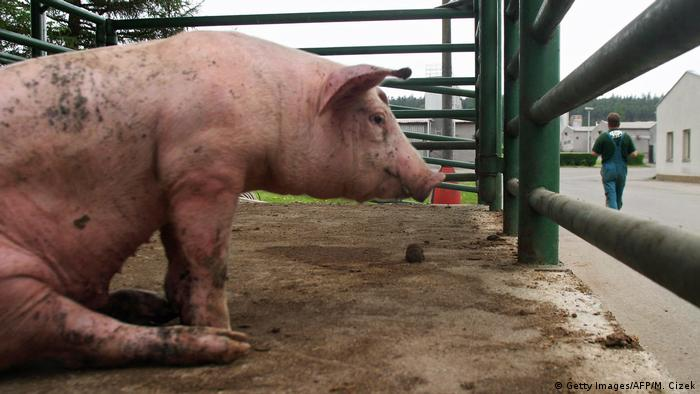 An industrial pig far, in Lety, Czech Republic, built on the site of a Nazi-era concentration camp for Roma