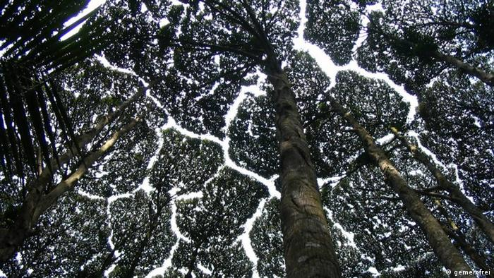 Tree top canopy - Crown Shyness
