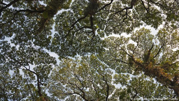 Kronendach - Crown Shyness (picture-alliance/WILDLIFE/M. Harvey)
