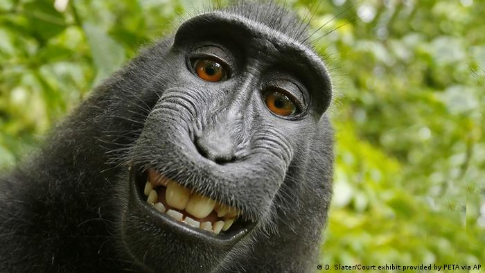 Selfie monkey in Indonesia (D. Slater/Court exhibit provided by PETA via AP)