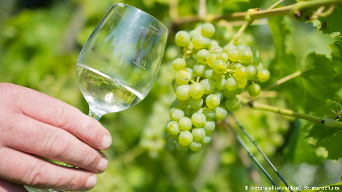 Someone holds a glass of white wine in front of green grape vines