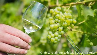 Бокал белого вина и виноградная лоза