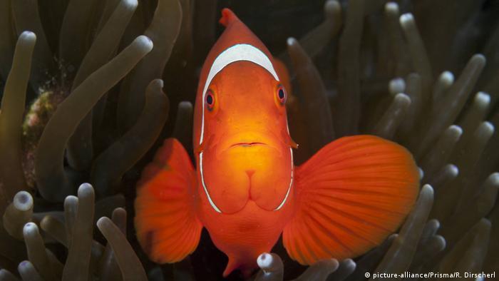 Procurando Nemo Esta Ficando Mais Dificil Meio Ambiente Dw