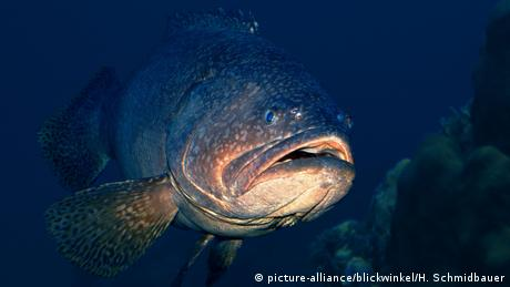 Grouper fish underwater