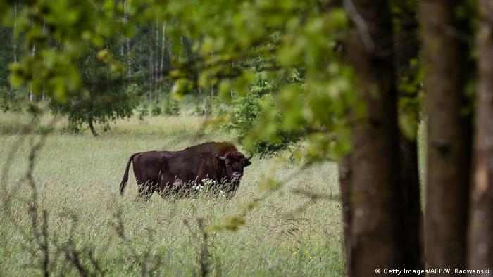 European bison (wisent), the symbol of Bialowieza forest is pictured in Bialowieza Forest on May 31, 2016, near Bialowieza (Getty Images/AFP/W. Radwanski)