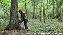 Bildergalerie Polen Abholzung des Urwaldes in Bialowieza