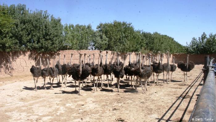 Afghanistan Kabul Erster Straußenzuchtfarm in Herat (DW/S. Tanha )