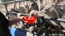 Afghanistan Kabul Erster Straußenzuchtfarm in Herat