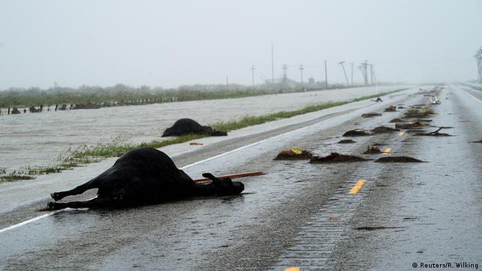 Texas Fulton Hurricane Harvey Tote Kühe