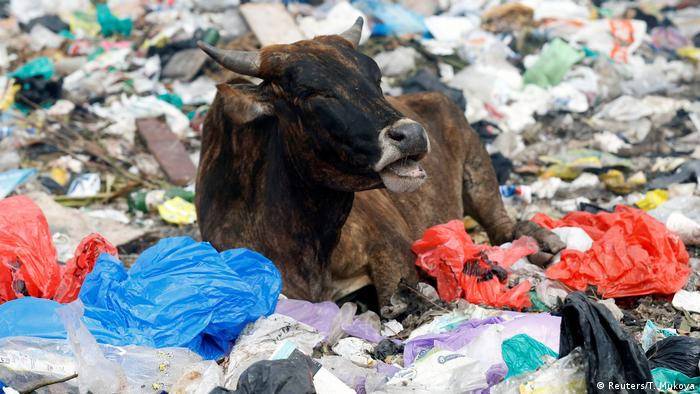 Cow in a landfill in Kenya