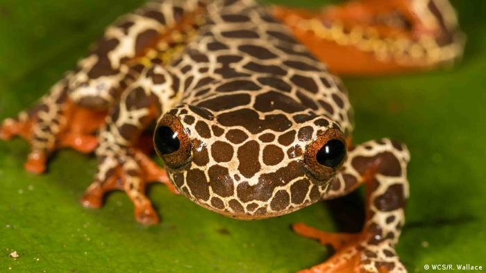 Bolivien Madidi - Frosch zu Spezies in Madidi (WCS/R. Wallace)