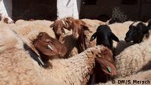 25.8.2017 in Oued El Kenz/Zriba, Gouvernorat Zaghouan, Tunesien. Schafe der Arbi-Rasse