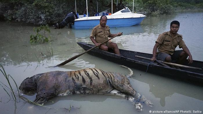 The carcass of a tiger lies in floodwaters at the Bagori range inside Kaziranga National Park in the northeastern Indian state of Assam.