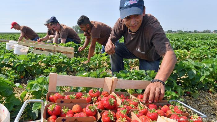 Radnici beru jagode (picture-alliance/dpa/H. Schmidt)