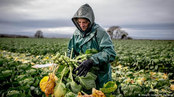 European worker gathers Brussels sprouts in the Cotswolds