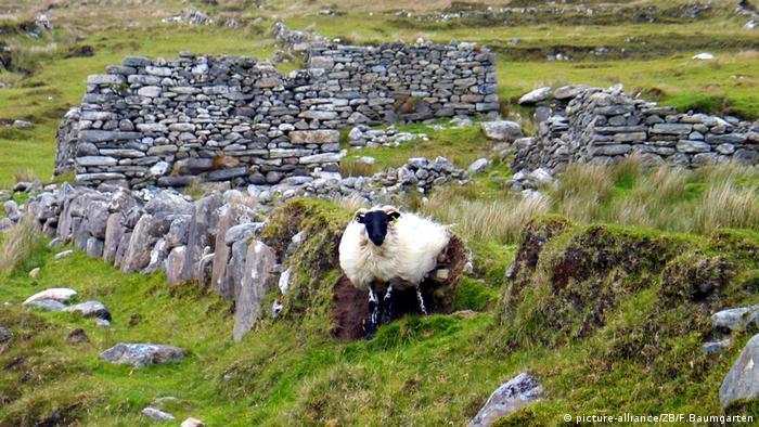 Ovelha em Achill Island, cidade remota da Irlanda