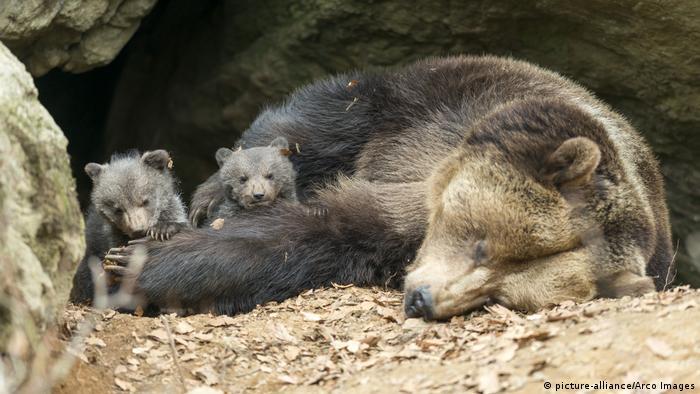Braunbärin schlafend mit Jungtieren (picture-alliance/Arco Images)