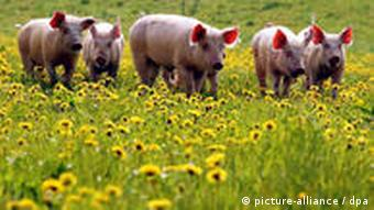 Field of pigs frolicking amid the dandelions