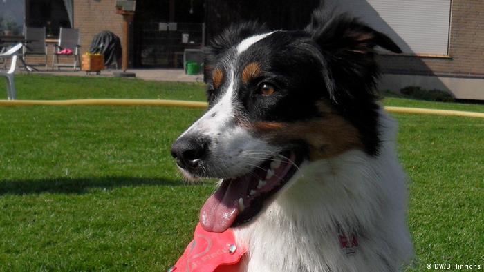 Der Border Collie-Rüde Nick ist Assistenzhund für Menschen mit Posttraumatischer Belastungsstörung. Das Bild zeigt ihn während einer Pause beim Hundetraining.