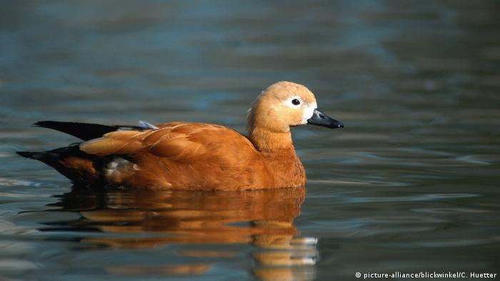 Ruddy shelduck swimming