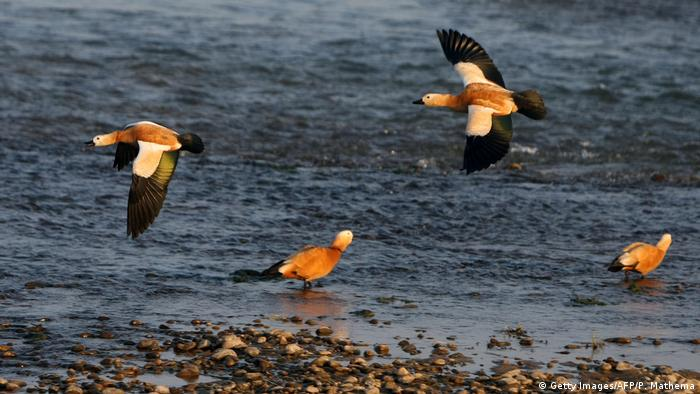 Ruddy Shelducks flying over the Rapati river in Nepal's Chitwan national park