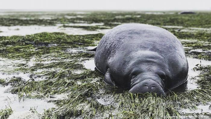 A manatee after Hurricane Irma
