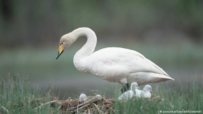 Whooper swan with cygnets