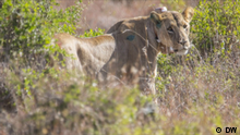 Eco@africa - GPS-tagged Lions